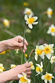 hands of gardener picking narcissus flower
