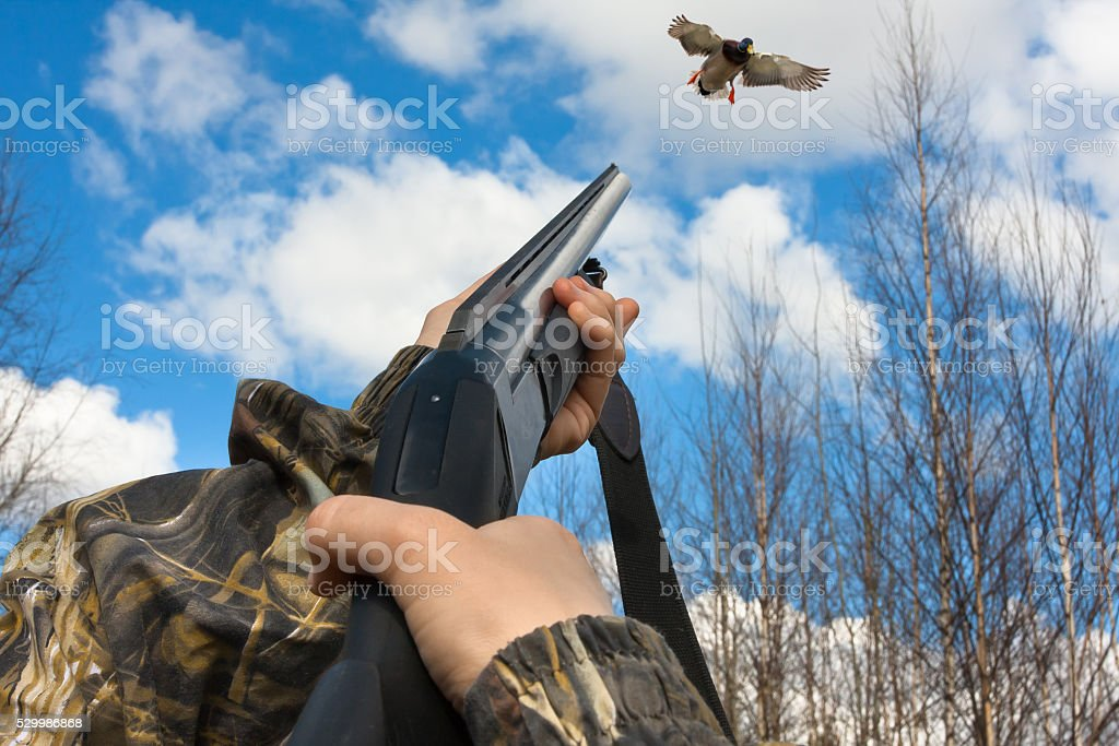hands of hunter shooting from a shotgun to duck stock photo