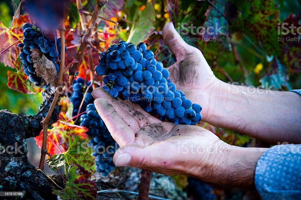 Hands of migrant worker holding cabernet sauvignon grapes Napa Sonoma stock photo