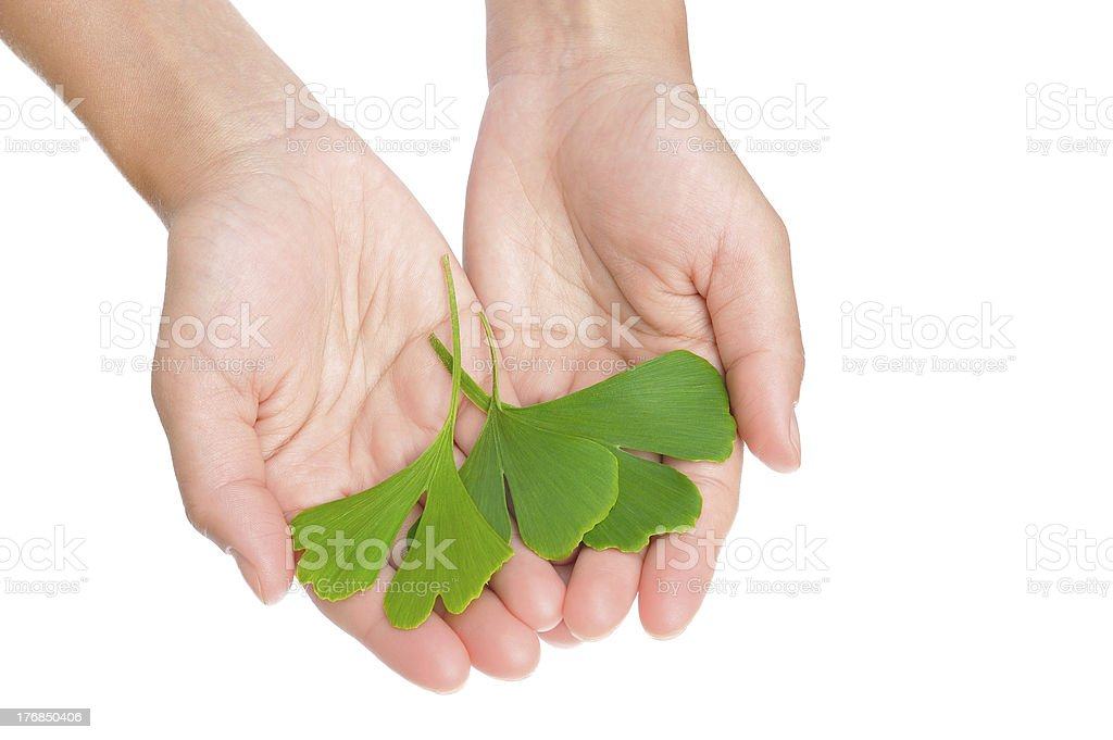 Hands of young woman holding ginkgo leaves royalty-free stock photo