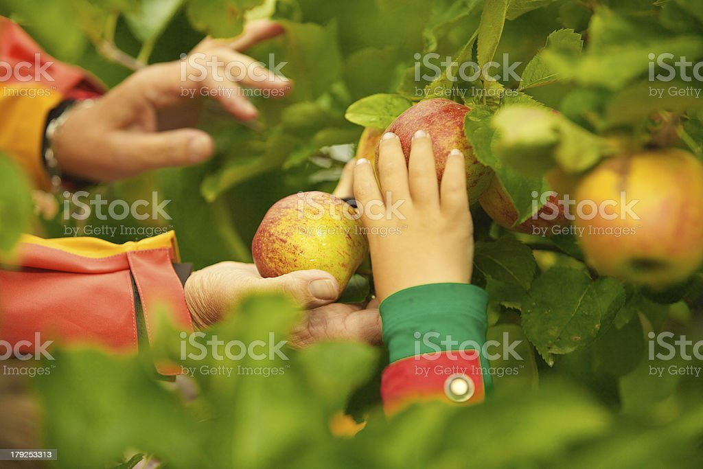 Hands Picking Apples from Tree royalty-free stock photo