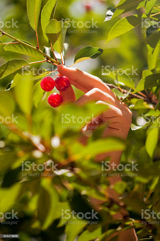 Hands picking cherries stock photo