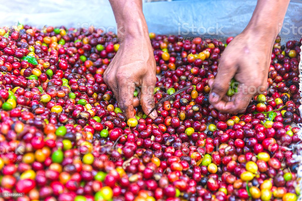 Hands picking fresh coffee crop stock photo