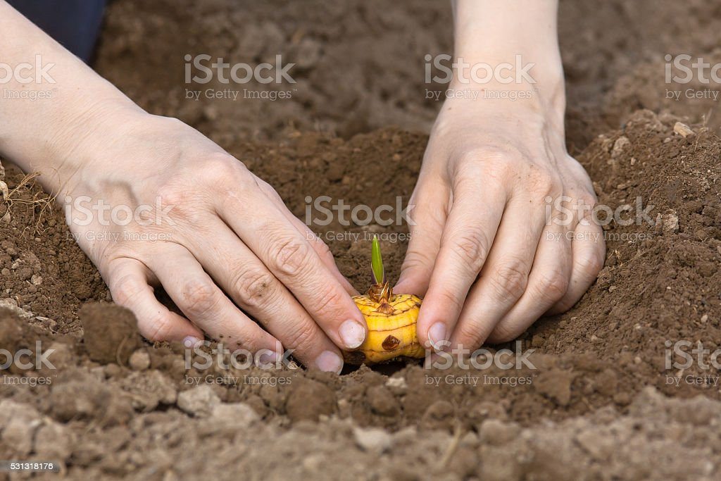 hands planting bulb of gladiolus in the garden stock photo