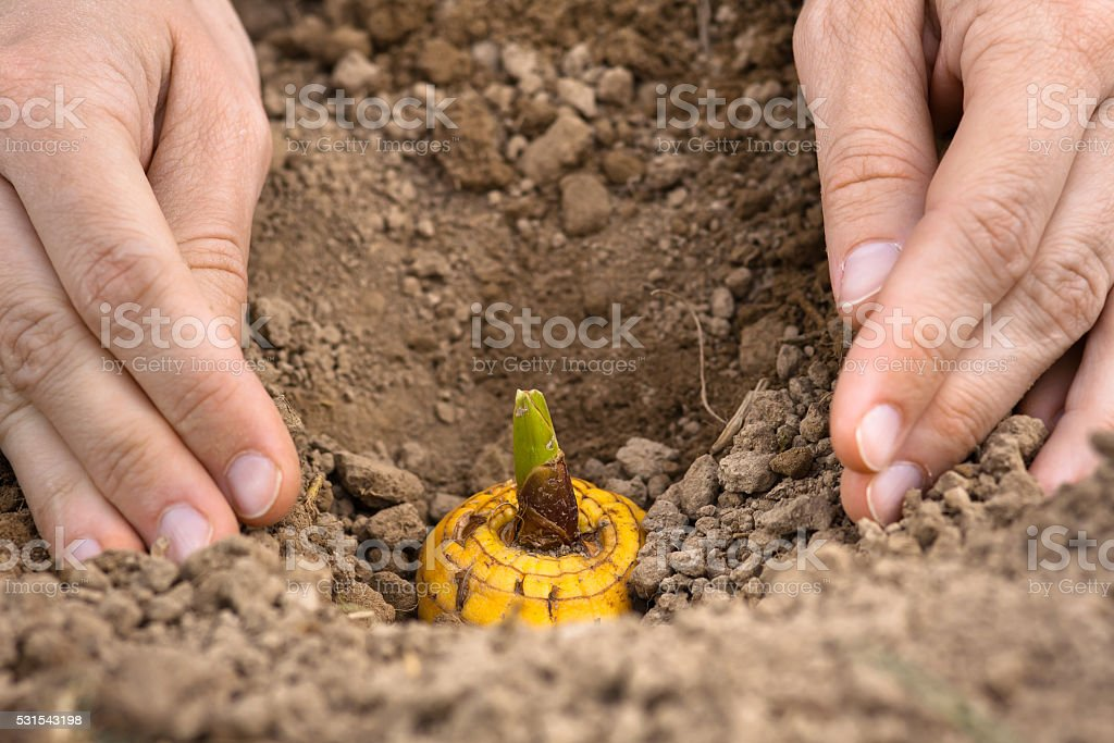 hands planting bulb of gladiolus stock photo