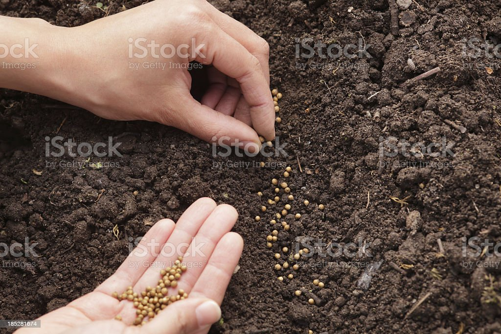Hands planting cilantro seeds in soil stock photo