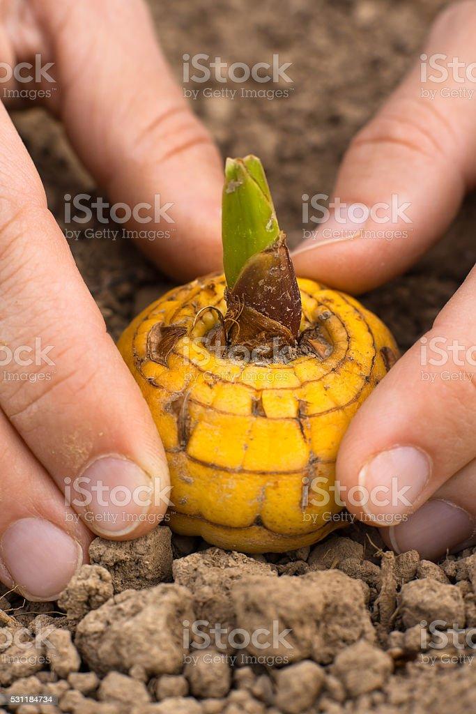 hands planting gladiolus bulb stock photo