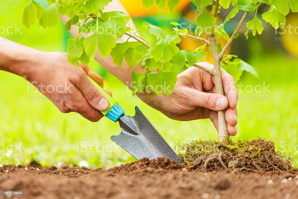 Hands Planting Small Tree with roots stock photo