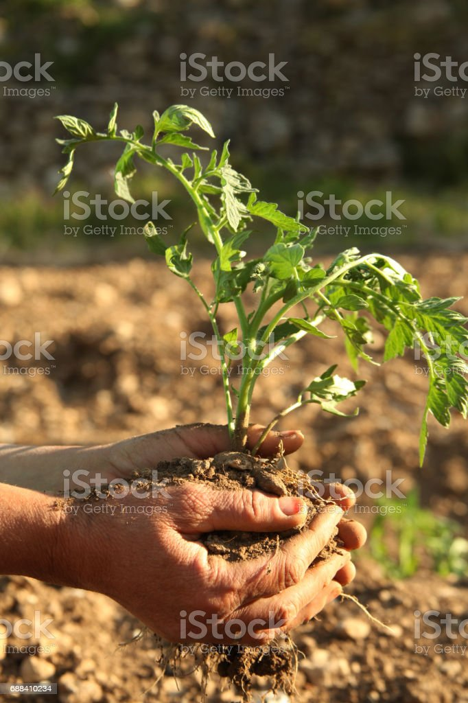 hands planting tomato seedling stock photo