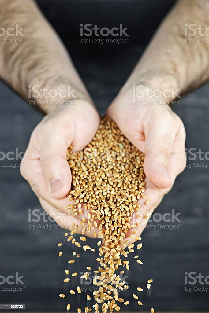 Hands pouring grain stock photo