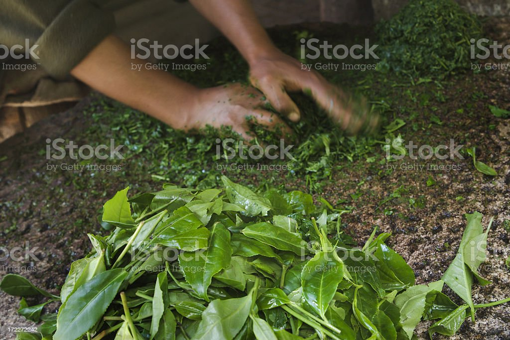 Hands Preparing Tea Leaves Crop, Food Processing for Fermenting Drink stock photo