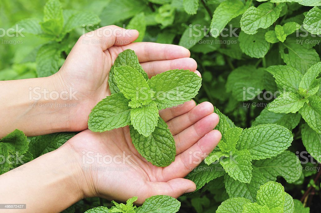 hands protect mint plants stock photo