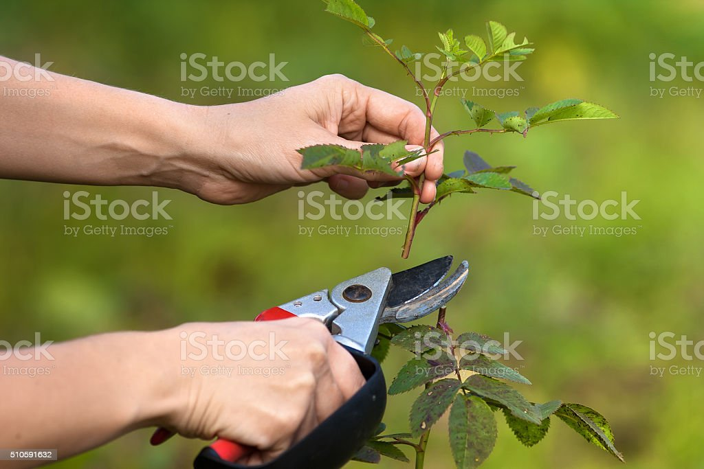 hands pruning garden rose branch with secateurs stock photo