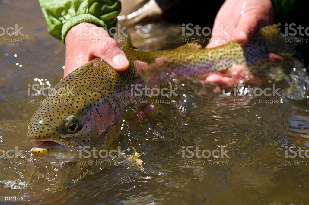 Hands releasing big rainbow trout stock photo