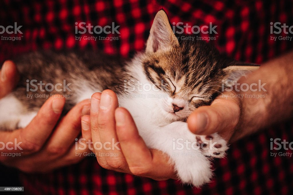 Hands safely holding a tiny sleeping fluffy kitten stock photo