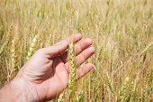 Hands touching golden wheat field