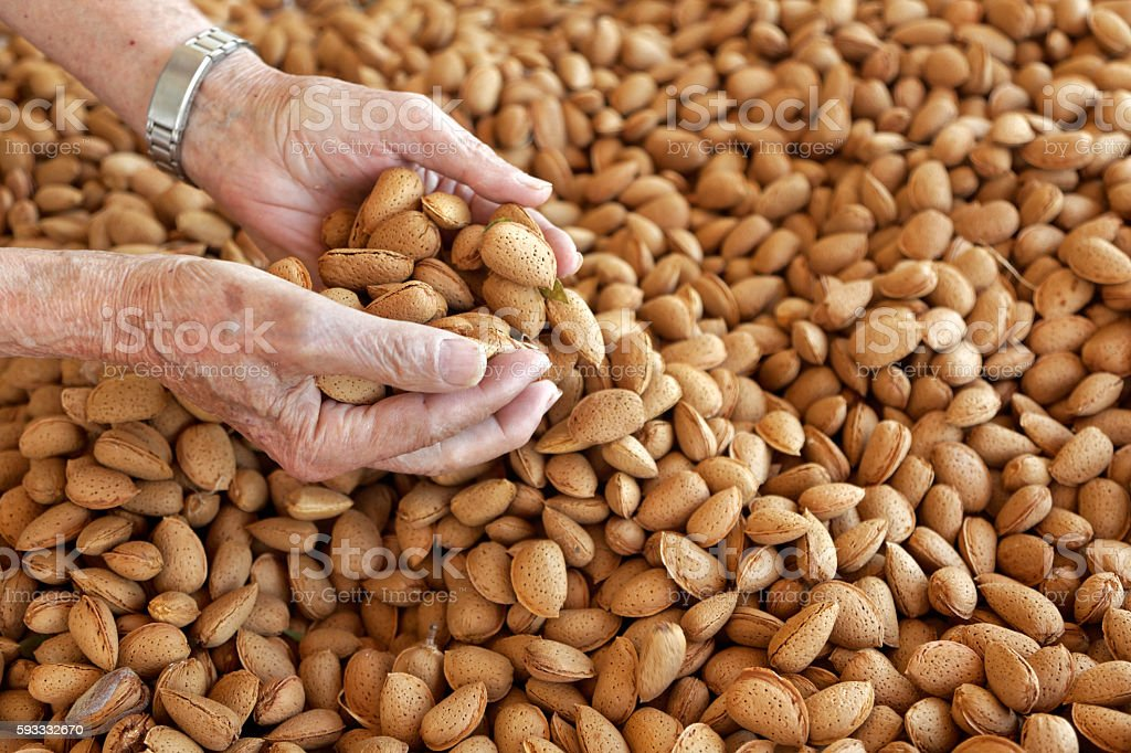 Hands with almond harvest stock photo