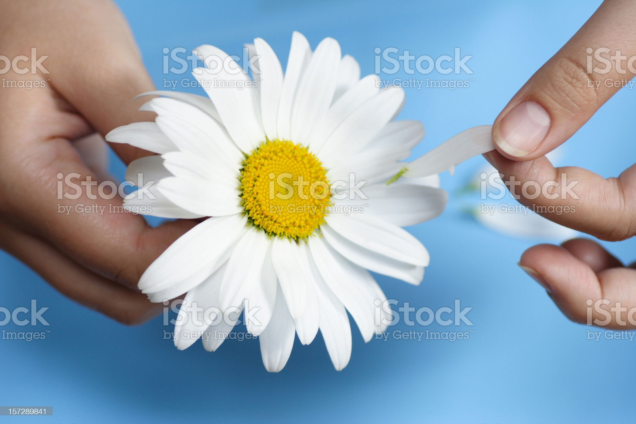Hands with daisy royalty-free stock photo