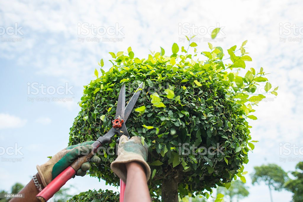 Hands with garden shears cutting a hedge in the garden stock photo