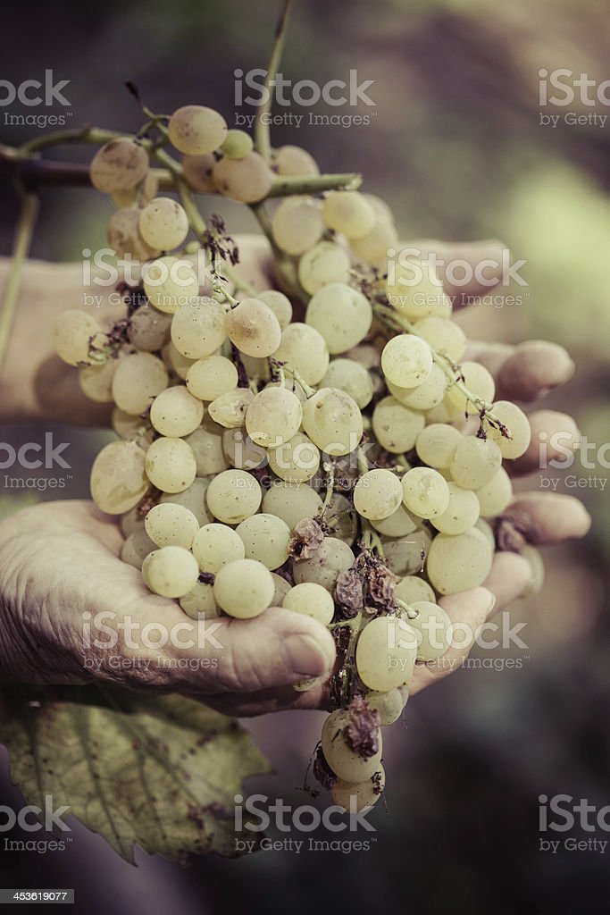 Hands with Grape stock photo