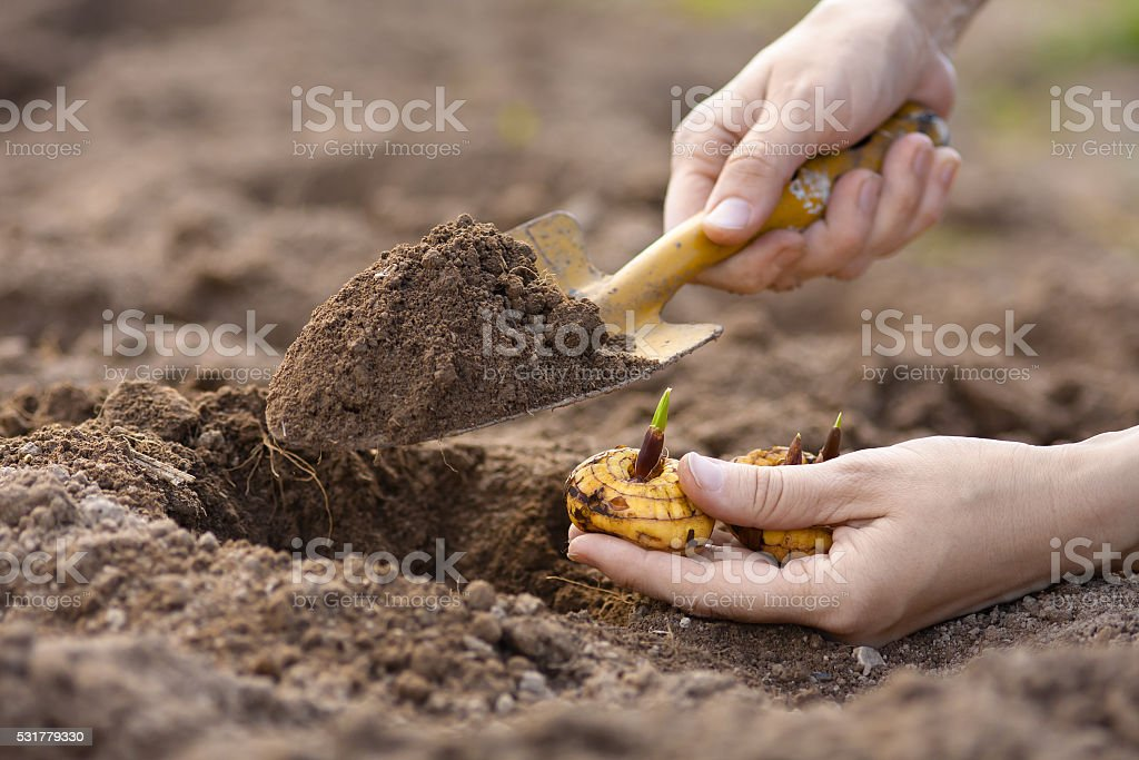 hands with shovel planting gladiolus bulb stock photo