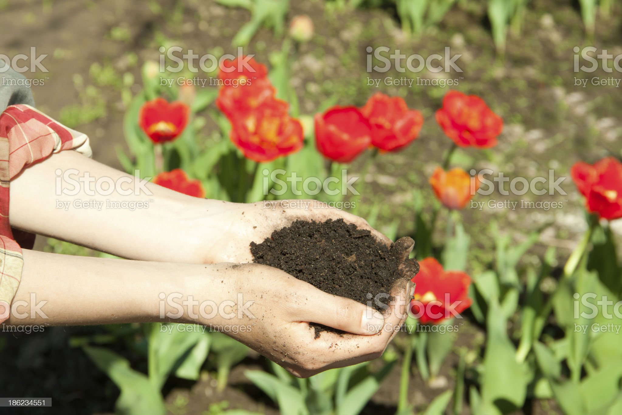 hands with soil royalty-free stock photo