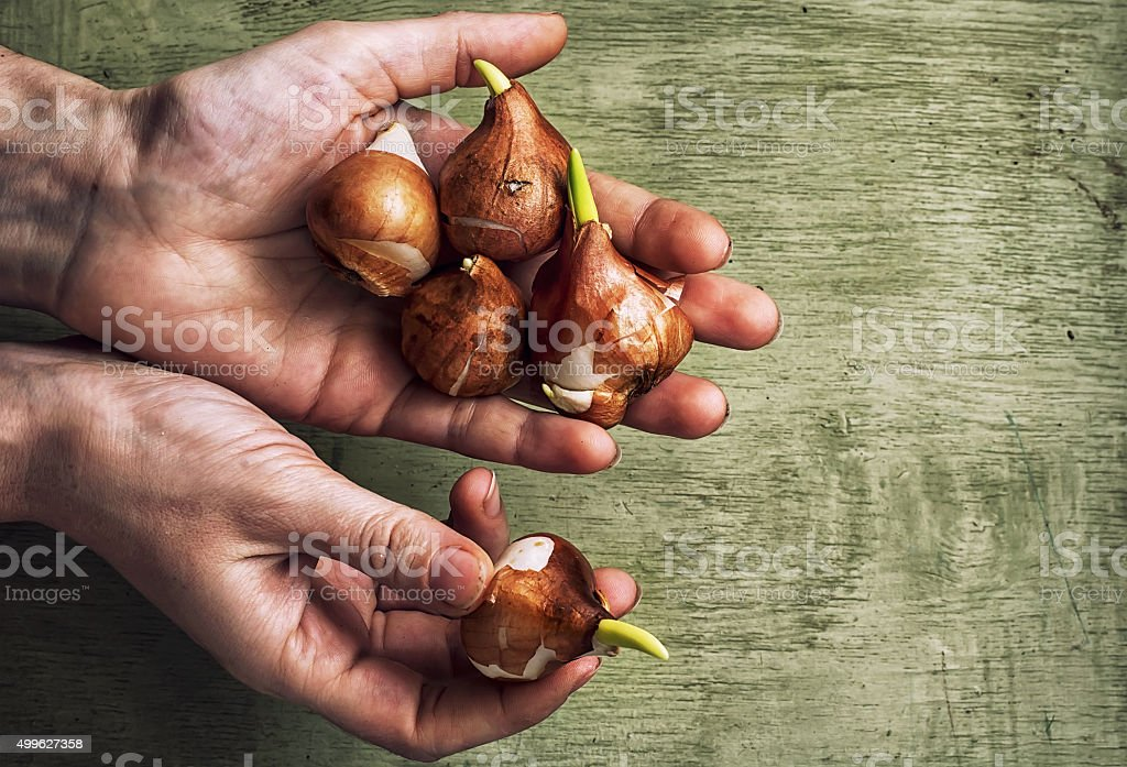 hands with the bulbs stock photo