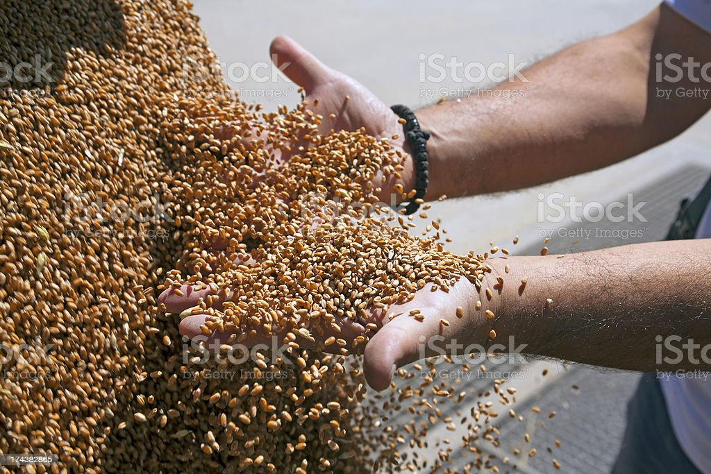 Hands with wheat grains royalty-free stock photo