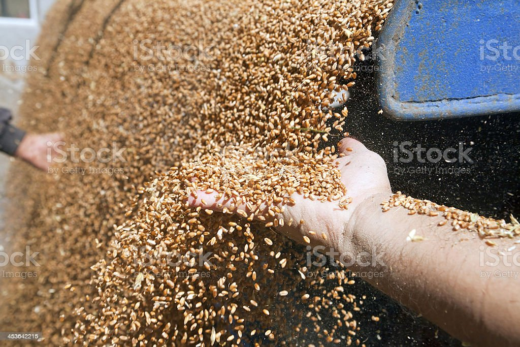 Hands with wheat grains stock photo