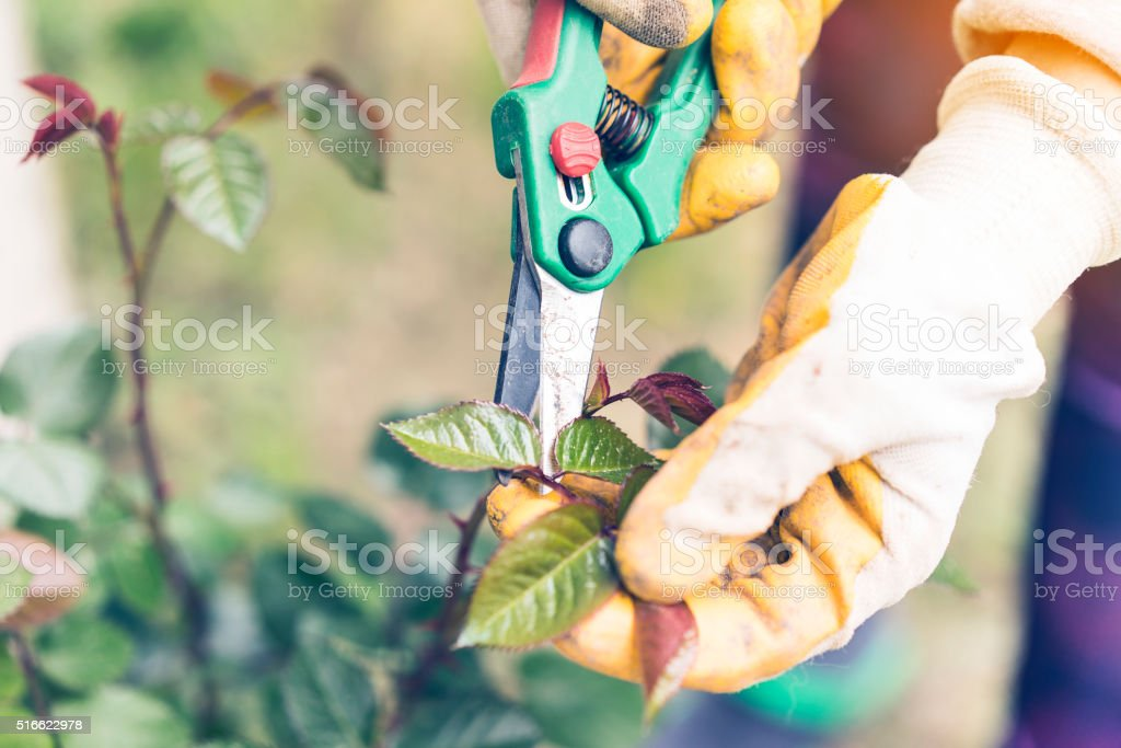 Hands working with a scissors in the garden stock photo