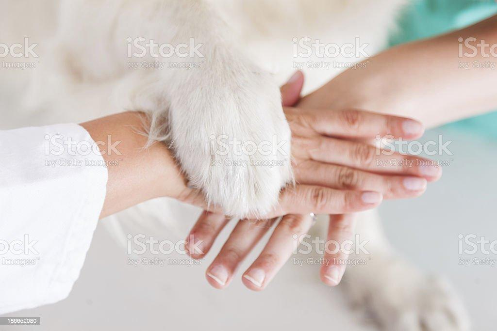Handshake between dog and veterinarian hand stock photo