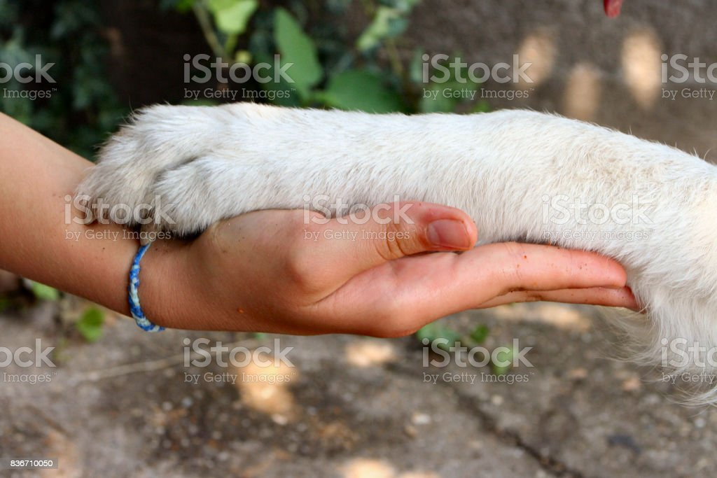 Handshake with a dog stock photo
