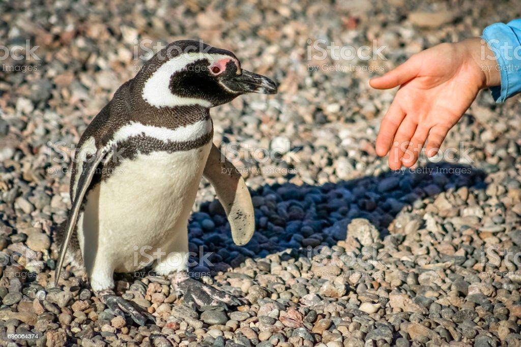 Handshake With Penguin stock photo