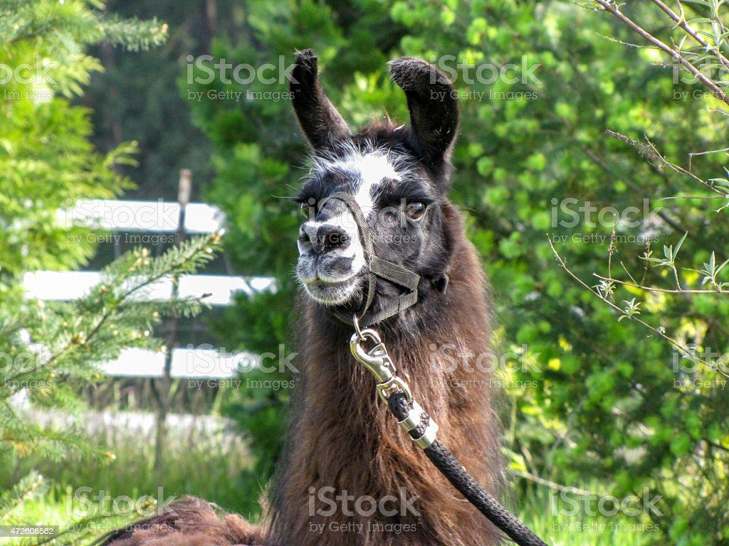 Handsom Llama stock photo