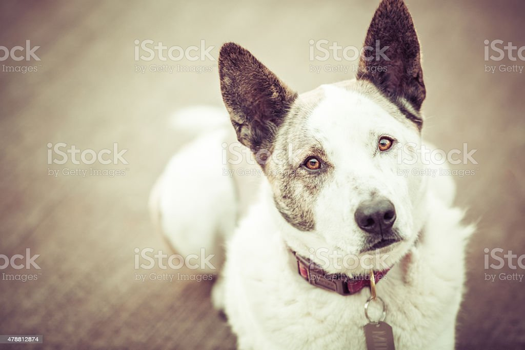 Handsome cattle dog looking at you stock photo