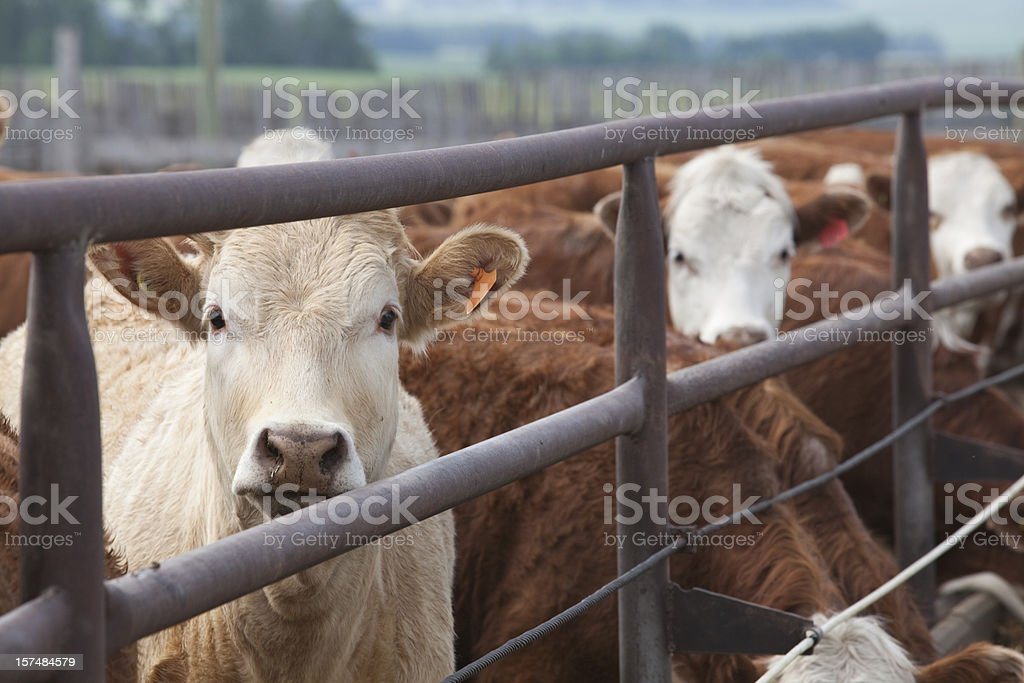 Handsome Cattle royalty-free stock photo