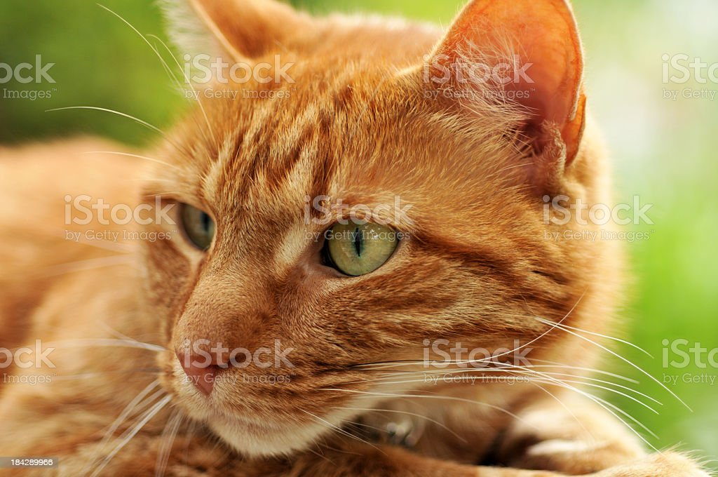 Handsome Ginger Cat stock photo
