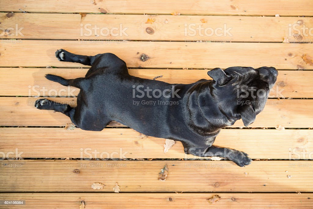 Handsome Staffordshire Bull Terrier dog lying on decking stock photo