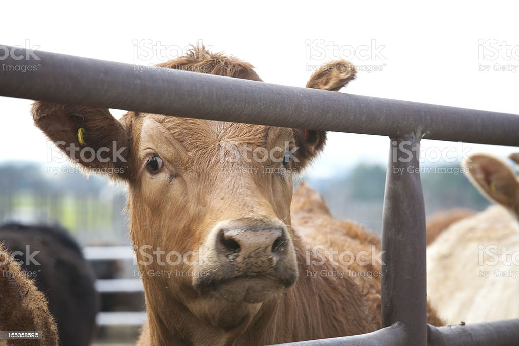 Handsome Steer royalty-free stock photo