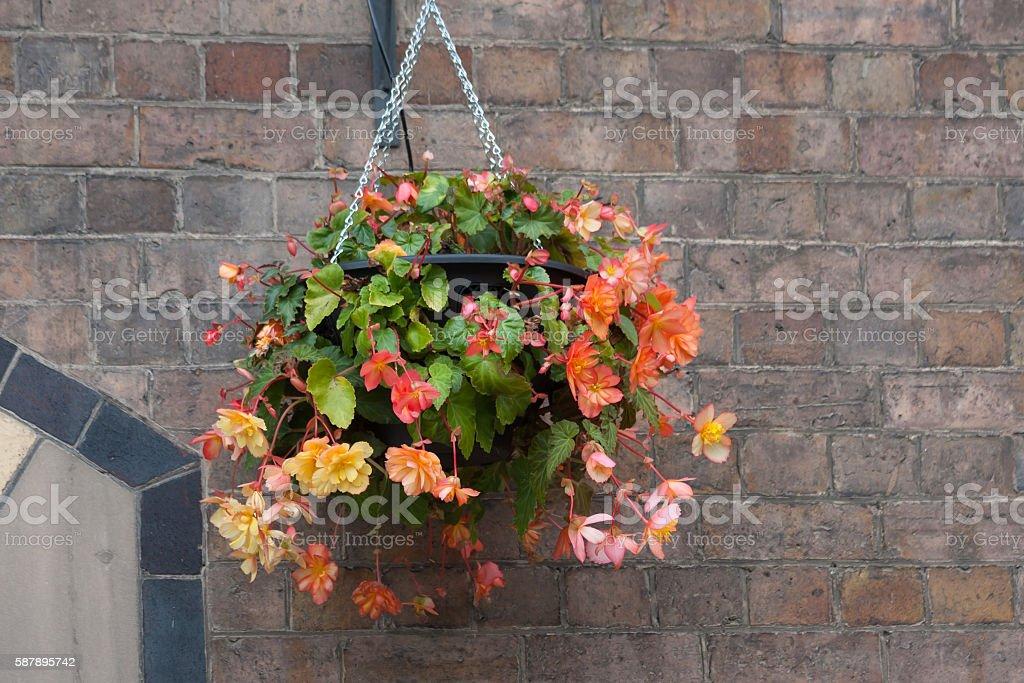 Hanging basket of Begonias stock photo