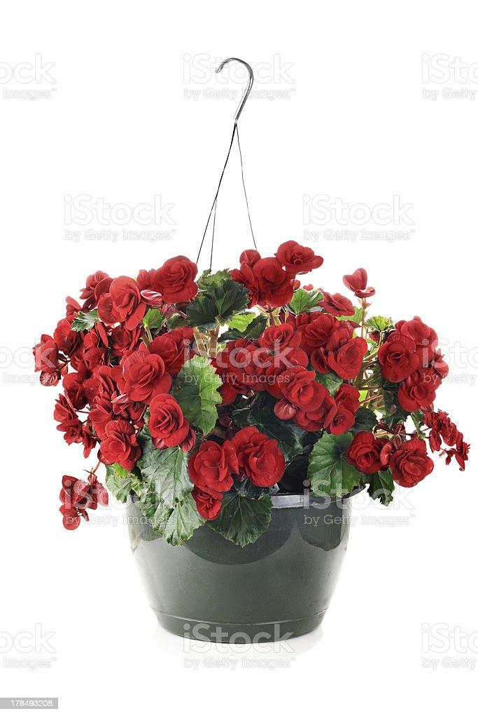 Hanging Begonias stock photo