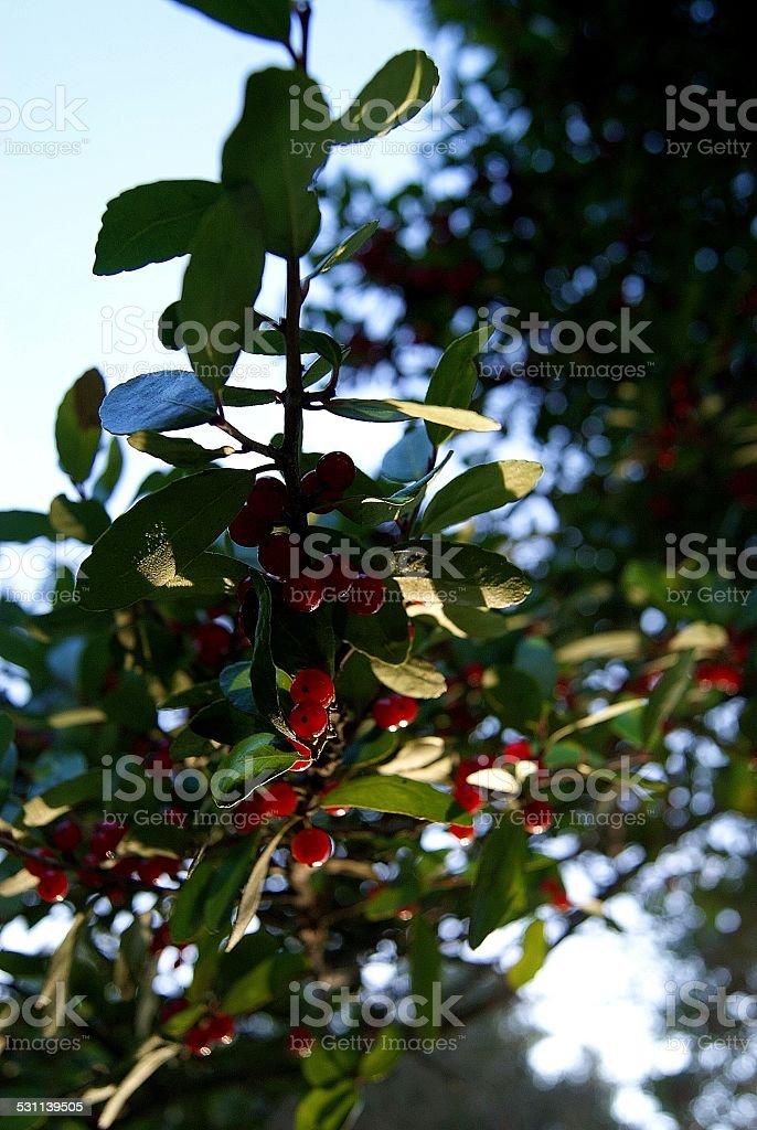 Hanging Berries royalty-free stock photo