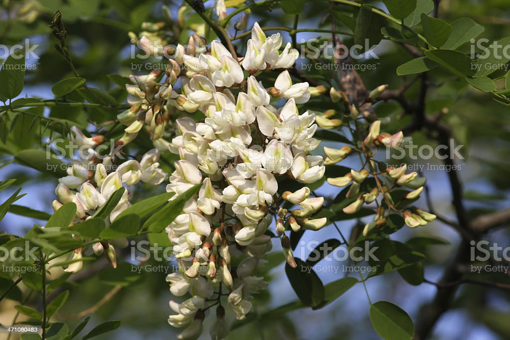 Robinia black locust tree dangling white flowers stock photo