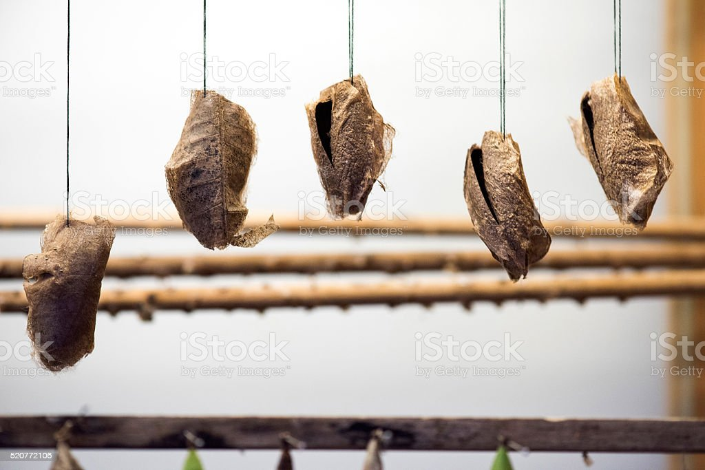 Hanging Butterfly Cocoon stock photo