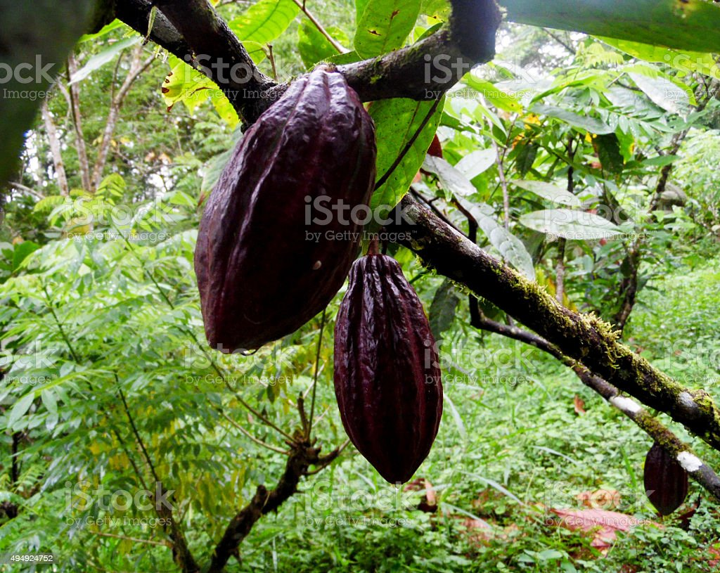 Hanging Cacao pods stock photo