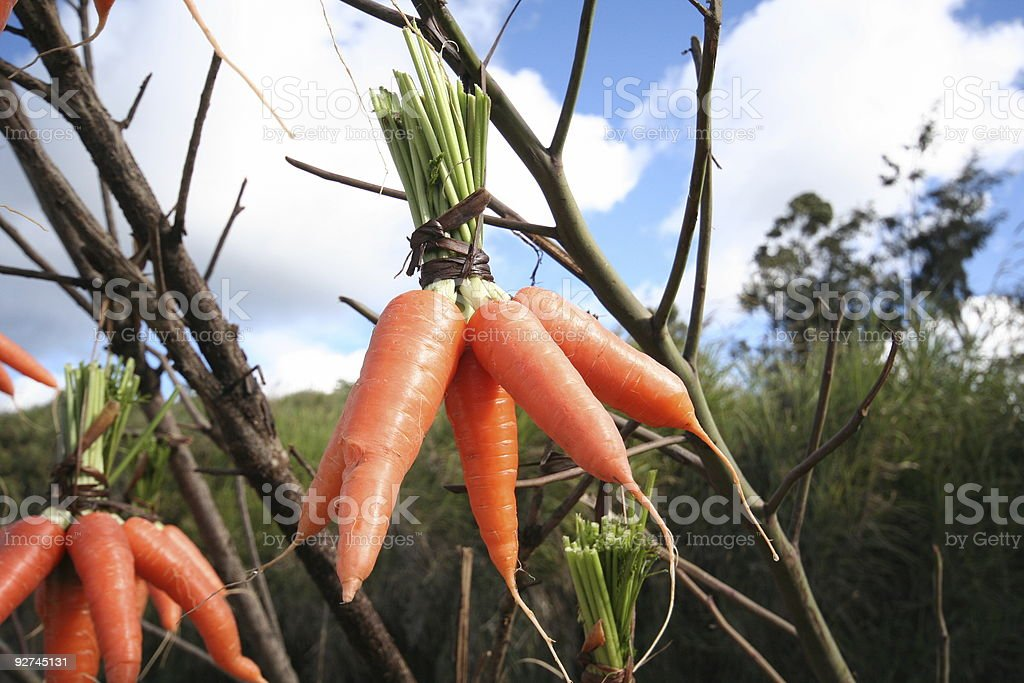 Hanging Carrots royalty-free stock photo