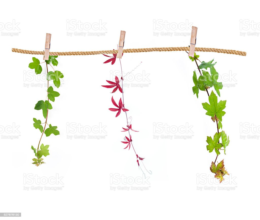 Hanging clothes peg three different vines stock photo