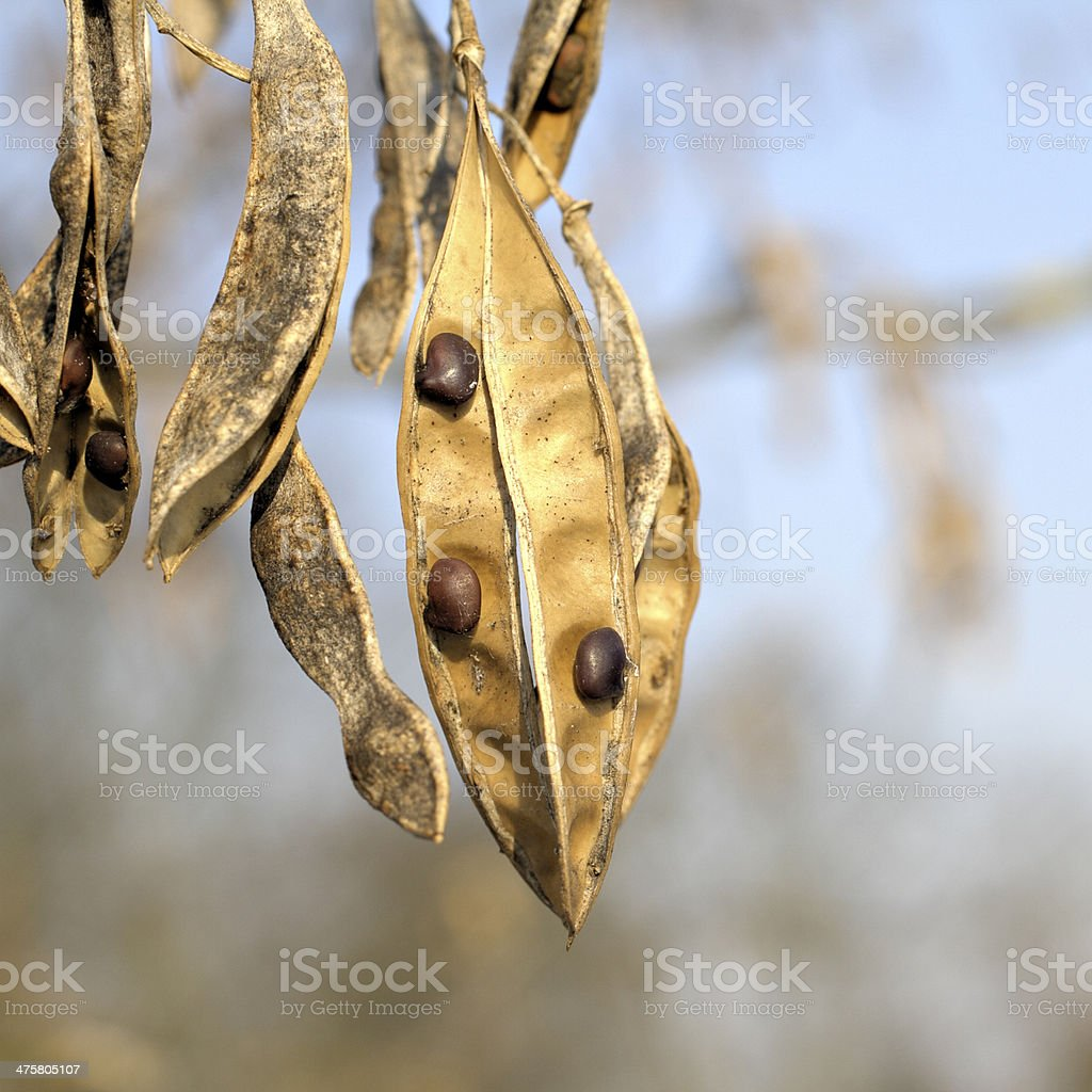 Laburnum anagyroides blossom turned to hanging seed pod stock photo