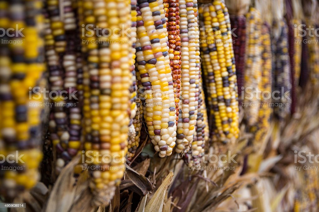 Hanging Dried Corn stock photo