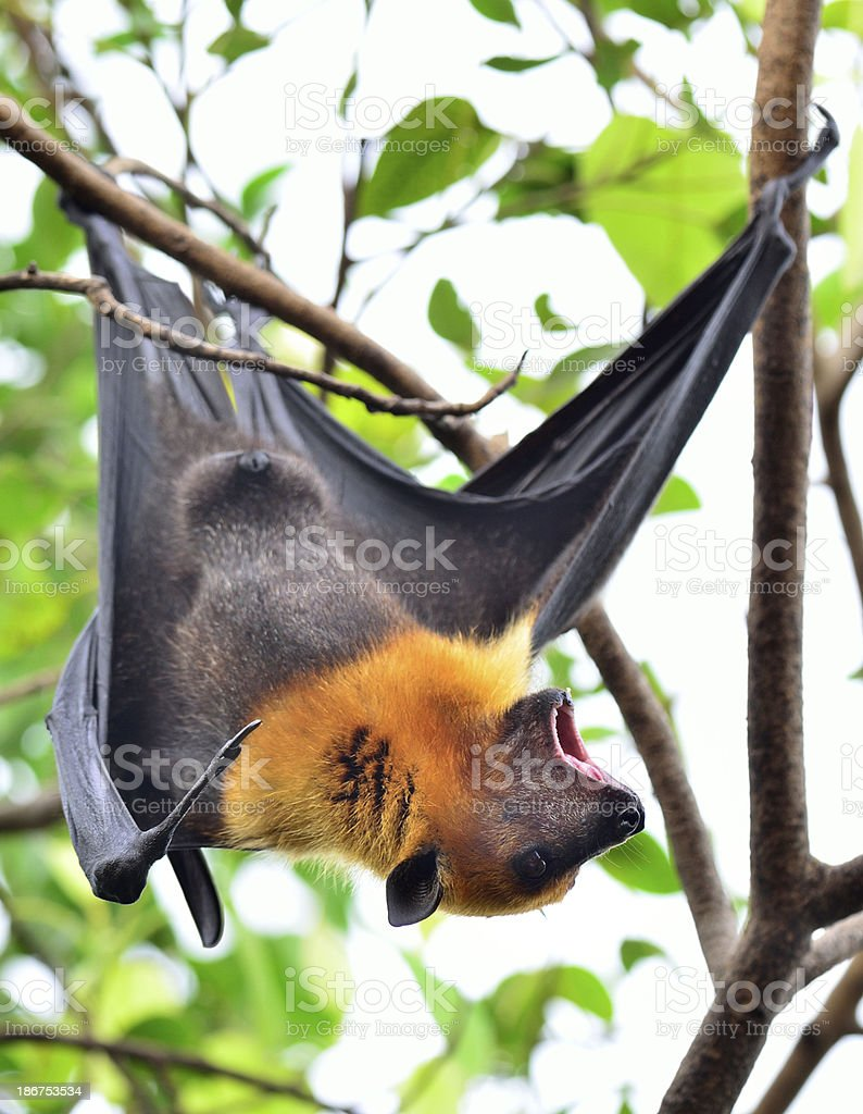 Hanging flying fox big bat shouting while on the branch stock photo